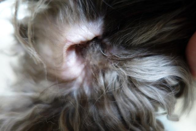 プードルの耳毛