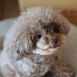 トイプードルの看板犬ティアラ