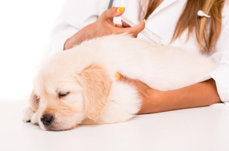 子犬のワクチン予防接種の順番と回数について。