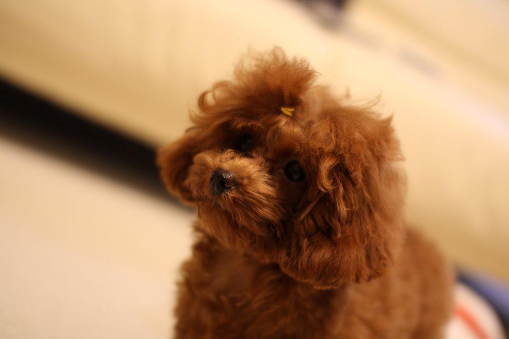トイプードルの子犬シャンプー