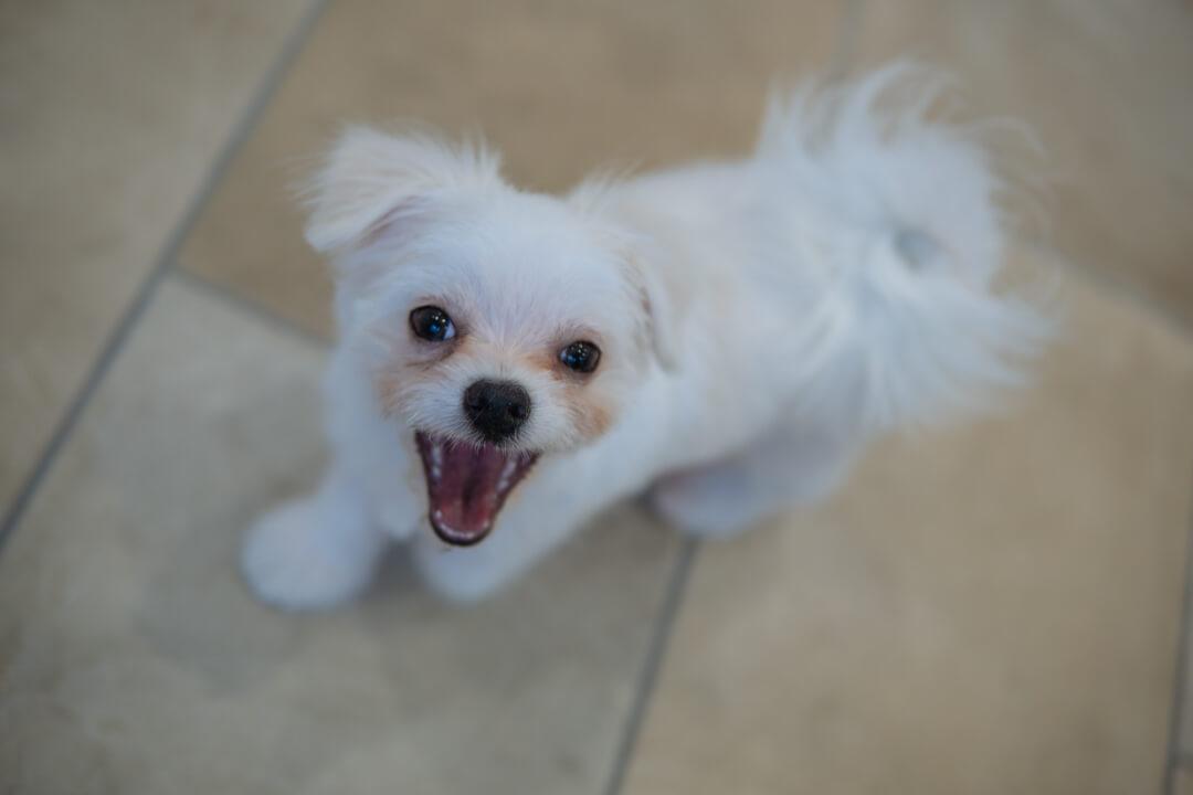 チワマルの子犬