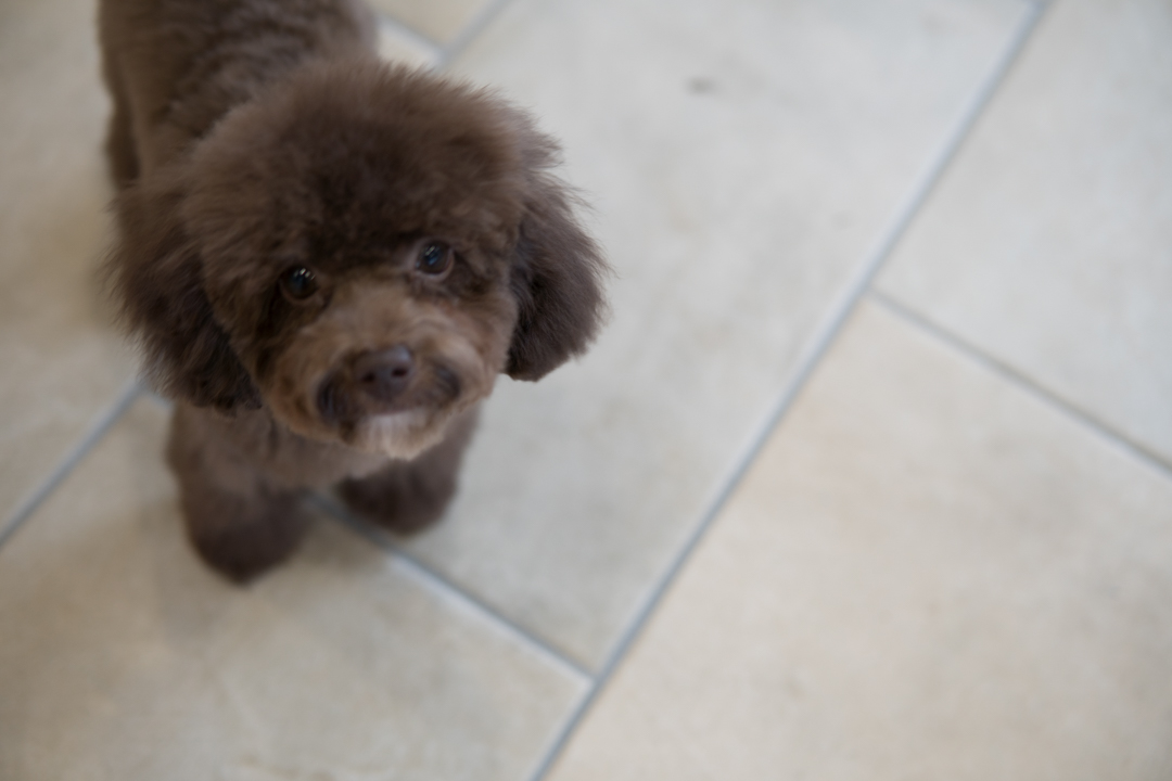 ブラウントイプーの子犬