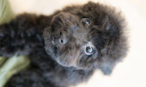 トイプードルの子犬ブラック