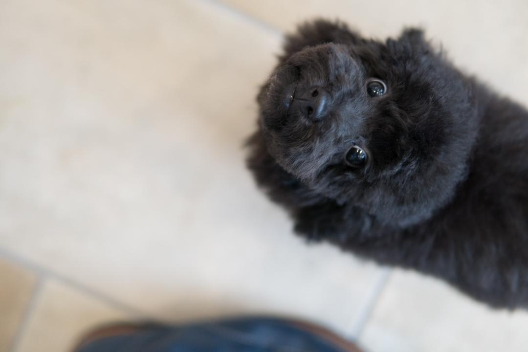 見上げるトイプードルの子犬