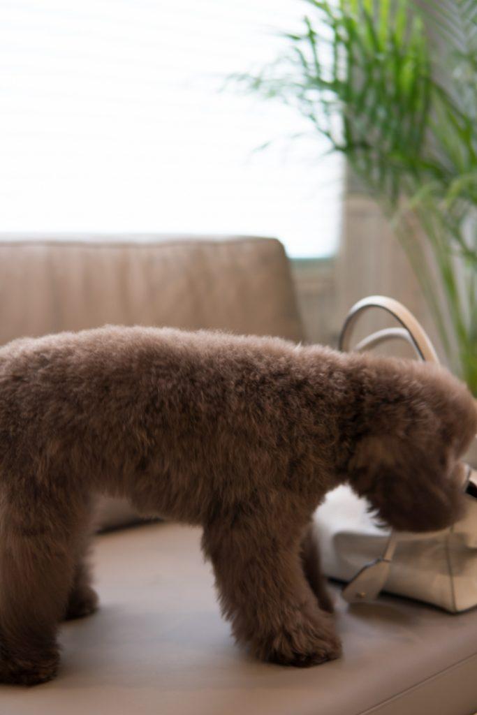 子犬トイプー