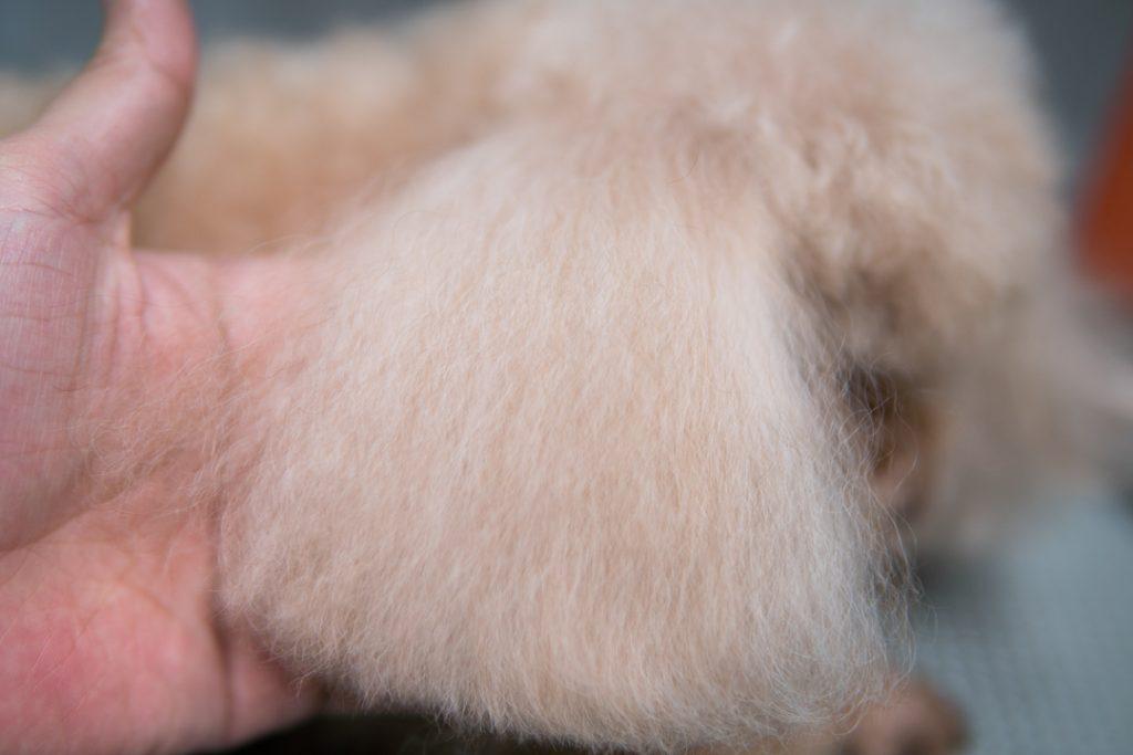 トイプードルの耳毛